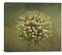 Onion Flower Buds