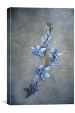 Bluebell, Canvas Print