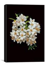White Blossom on Black, Canvas Print