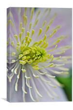 Close Up Clematis, Canvas Print