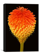 RED HOT POKER (Kniphofia), Canvas Print