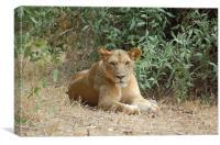 Lion resting, Canvas Print