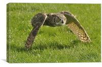 Barn Owl on the hunt, Canvas Print