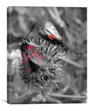 Six red spot Burnet moth
