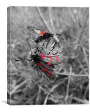 Six spot Burnet moth 2