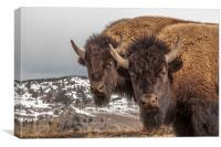Two Bison, Canvas Print