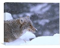 Frosty Coyote, Canvas Print