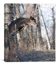 White-tail Buck Jumping, Canvas Print