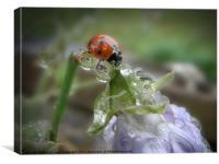 Ladybird under a Summer rain, Canvas Print