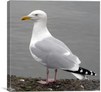 Aberdeen Seagull, Canvas Print