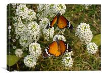 Two butterflies on a white flower... , Canvas Print