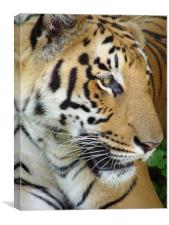 Tiger - a closeup view, Canvas Print