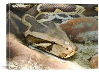 The Python - closeup, Canvas Print