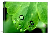 Aquilegia leaf and rain drops, Canvas Print