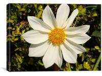 White Sunflower, Canvas Print
