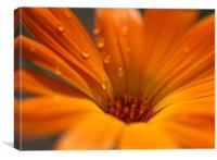 Raindrops on petals, Canvas Print