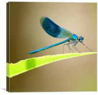 Blue Banded Damselfly, Canvas Print