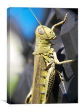 Green Grasshopper , Canvas Print