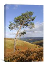 Scots pine , Canvas Print