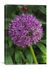 Allium Hollandicum, Canvas Print