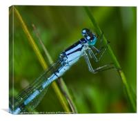 Damsel fly, Canvas Print