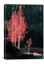Siler birks, Canvas Print