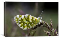 Dappled White Butterfly, Canvas Print