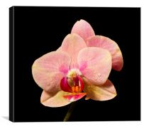 Stunning Orchids, Canvas Print