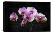 Stunning Pink Orchids, Canvas Print