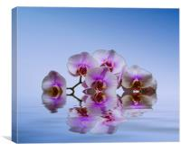 Pink Orchids Blue background, Canvas Print