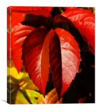 Hanging leaves, Virginia creeper  leaves, Canvas Print