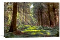 Bowmont Forest in the Sunlight, Canvas Print