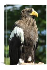 Stellers Sea Eagle, Canvas Print