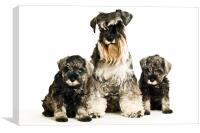 Miniature Schnauzer with puppys, Canvas Print