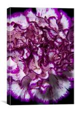 Purple carnation, Canvas Print