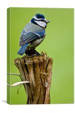 Blue tit on a stump, Canvas Print