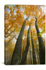 Golden Canopy, Canvas Print