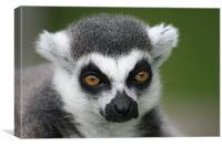 Ringtail Lemur, Canvas Print
