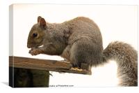 grey Squirrel on the Edge