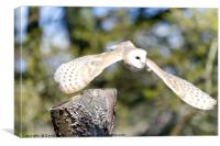 Barn Owl (Tyto alba), Canvas Print