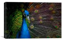 a peacock, Canvas Print