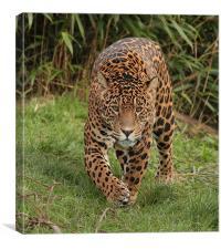 Male Jaguar , Canvas Print