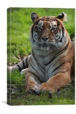 Tiger , Canvas Print