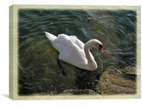 Swan , Canvas Print