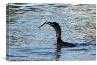 Little Cormorant with prey, Canvas Print