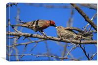 House Finch [m] with it's juvenile, Canvas Print