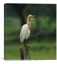 Cattle Egret, Canvas Print