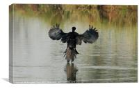 Little Cormorant : just landing, Canvas Print