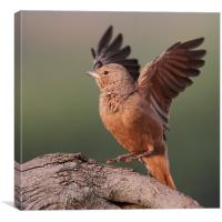Rufous-tailed Lark, Canvas Print