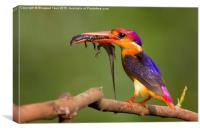 Oriental dwarf kingfisher, Canvas Print